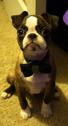 """""""Got my Bow Tie on, and my Date didn't show"""", poor Boston Terrier Puppy❤ - Animals - Puppies Boston Terriers, Boston Terrier Love, Terrier Puppies, Cute Puppies, Cute Dogs, Dogs And Puppies, Doggies, Pugs, Baby Animals"""