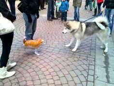 Funniest dog video you will see.  An Alaskan Malamute comes face to face with ... a cat shaped balloon.