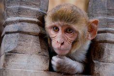 """""""O GRITO DO BICHO"""": Na India, um macaco salva a vida de outro, electro... #ogritodobicho #falabicho"""