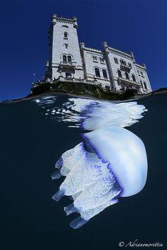 Medusa Polmone di mare (Rhyzostoma pulmo) sotto il castello di Miramare (Trieste).