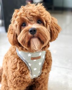The Cavapoo is a crossbreed that results from breeding a Poodle and a Cavalier King Charles Spaniel. Cavapoos were initially created to be hypoallergenic dogs a Cavapoo Puppies For Sale, Cockapoo Puppies, Cute Dogs And Puppies, Pet Dogs, Goldendoodles, Doggies, Labradoodles, Bear Puppy, Teddy Bear Puppies