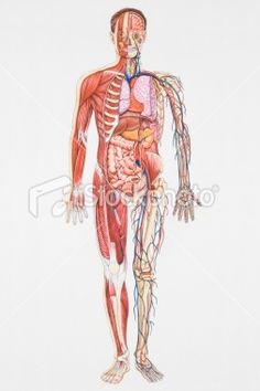 48 best the human body images on pinterest nurses nursing and free diagrams human body illustrated cross section diagram of human royalty free stock vector ccuart Gallery