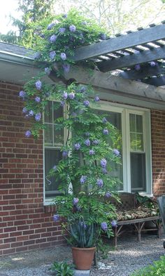 Amethyst Falls Wisteria | #starkbros Zone Range 5-9; First-year bloomer, flowers from spring through late summer. Heat-tolerant. Drought tolerant. Deer resistant. Disease resistant. American wisteria (Wisteria frutescens)