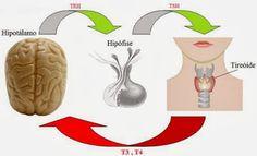 A ingestão diária de iodo varia entre 70 e 200 microgramas. O iodo é absorvido sob a forma salina, mas deve estar sob a forma iônica para formar iodo. Ele é absorvido no duodeno e cai na corrente sanguínea. As células foliculares captam iodeto e então, dentro da célula, ele sofre a ação da enzima peroxidase e transforma-se em iodo (Íon). A partir de então se associa a tirosina (que tem forma de anel benzênico) e forma a 3–monoiodotirosina (MIT).