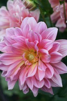 Dahlias by amy butler design, via Flickr