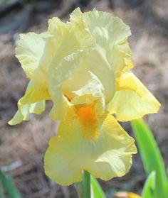Tall Bearded Iris 'Anembo'