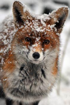 Curious fox :)