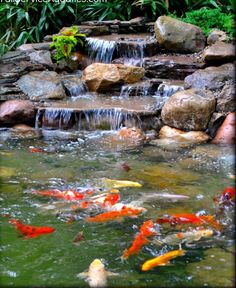 Koi fish in a backyard pond