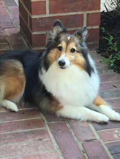 ~ SABLE SHELTIE ~