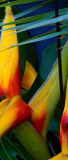 #caribbean #heliconia