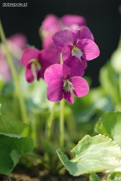 Common Blue Violet 'Rubra' (Viola sororia)