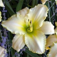 August Frost Daylily