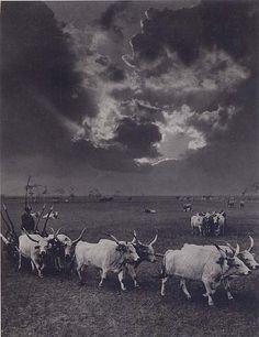 Six Cattle, Hortobágy, 1930 by Rudolf Balogh (Budapest, szeptember – Budapest, október Fine Art Photo, Photo Art, Alien Concept, Andre Kertesz, Farm Photo, Austro Hungarian, Old Photography, Vintage Farm, Old Pictures