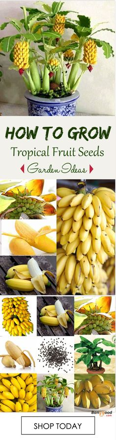 Egrow 30 Pcs Dwarf Banana Seeds Bonsai Tree Tropical Fruit S.- Egrow 30 Pcs Dwarf Banana Seeds Bonsai Tree Tropical Fruit Seeds Balcony Flower … Egrow 30 Pcs Dwarf Banana Seeds Bonsai Tree Tropical Fruit Seeds Balcony Flower for Home Plants. Veg Garden, Fruit Garden, Edible Garden, Garden Plants, China Garden, Garden Bed, Landscaping Plants, Balcony Garden, Garden Tools