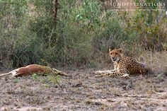 The food chain. This cheetah took down an impala. All happens while on safari in the Kruger ! Predators must eat.   #cheetah #nthambotreecamp #bigcats #predators #wildlife #animals #kruger #Africa #southafrica