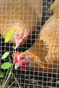 Just a cute pic : ) (8 Top Vines to Grow on Your Chicken Coop | Tilly's Nest)