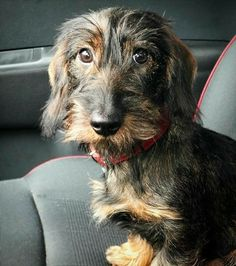 Long Haired Dachshund, Dachshund Love, Daschund, Scruffy Dogs, Fox Terrier, Dogs And Puppies, Doggies, I Love Dogs, Animals Beautiful