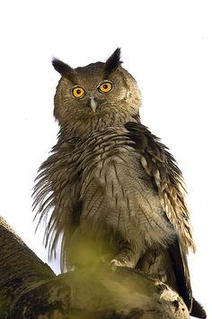 Dusky Eagle-owl (Bubo coromandus)