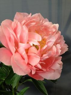 The Attractive Peony Wedding Bouquets Peony Flower, Blossom Flower, Pink Flowers, Peony Bouquet Wedding, Wedding Flowers, Amazing Flowers, Beautiful Flowers, Coral Peonies, Peony Painting