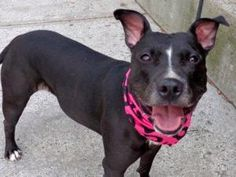 ROXIE is an adoptable Pit Bull Terrier Dog in New York, NY. A volunteer writes: Roxie is a beauty with a big infectious grin and sparkling, intelligent eyes. Surrendered by her owner due to landlord i...