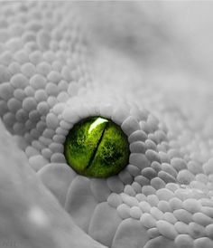 White Snake with green eyes - - Les Reptiles, Cute Reptiles, Amphibians, Pretty Snakes, Beautiful Snakes, Beaux Serpents, Snake Photos, Cute Snake, Snake Art
