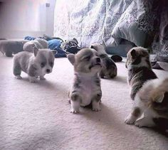 These tiny balls of fluffiness are baby corgis and they're 3 weeks old.. #Cute