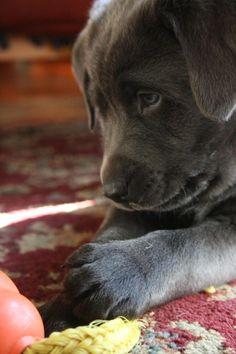 Baby Bridger, an adorable charcoal lab