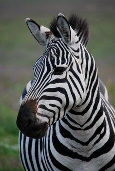 Zebra. Ngorongoro Crater. Tanzania, Africa.