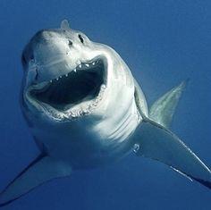 Great White Shark (on the weekend )! Save The Sharks, Cool Sharks, Cute Shark, Happy Shark, Types Of Sharks, Shark Photos, Shark Pictures, Megalodon Shark, Shark Bait
