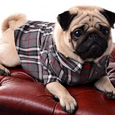 Dapper pug#Repin By:Pinterest++ for iPad#