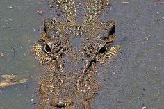 Crocodiles - Northern Territory - LinkedIn Gudies (saltwater crocodile; Darwin, Australia)