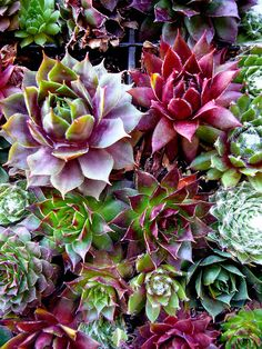 More colourful succulents