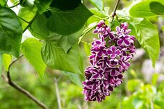 Want the most fragrant plant on earth in your garden? Learn about planting lilac bushes and how to grow them, including how to prune lilacs, and lilac care! Wisteria How To Grow, Lilac Varieties, Propagate Succulents From Leaves, English Garden Design, Lilac Tree, Alpine Garden, Lilac Bushes, Drought Tolerant Garden, Flower Tower