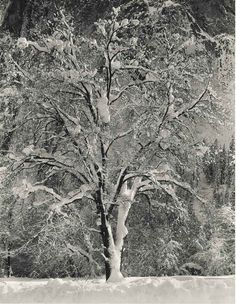 Oak Tree, Winter, Yosemite, ca 1948, Ansel Adams.