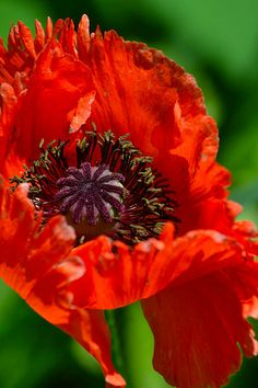 Abstract Flowers, Watercolor Flowers, Flower Farm, Flower Pots, Black Flowers, Beautiful Flowers, Lilies Of The Field, Orange Poppy, Language Of Flowers