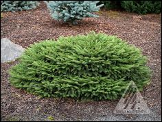 Checkers, anyone? – The Amazing World of Conifers