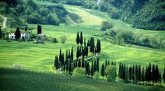 Beautiful Italian cypress trees