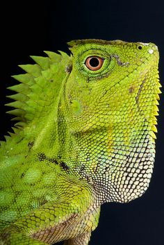 """musts: """" Chameleon forest dragon / Gonocephalus chamaeleontinus by Reptiles4all { website } """""""