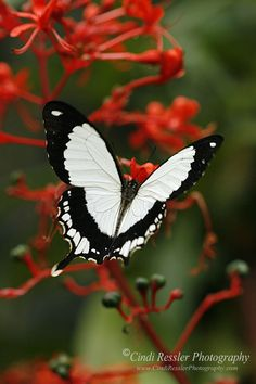 "African Butterfly a/k/a ""The Flying Handkerchief"""
