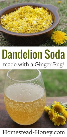 This dandelion soda recipe is naturally fermented with a ginger bug, giving it a distinctive flavor and natural fizz! Make in the spring when dandelions are abundant for an all-natural homemade soda. Dandelion Recipes, Ginger Bug, Ginger Food, Healthy Drinks, Healthy Recipes, Kefir Recipes, Healthy Foods, Fermentation Recipes, Soda Recipe