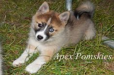 A cross between the Pomeranian and Husky, the Pomsky is a small breed of dog with a fluffy coat, plush tail and pointed ears. Not only are these dogs cute and cuddly, but they are full of energy and ready to play. Pomsky Puppies, Pomeranian Puppy, Husky Puppy, Dogs And Puppies, Pomeranians, Husky Mix, Puppys, Doggies, Dogs