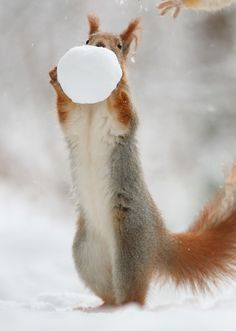 Squirrel with snowball. Flying Squirrel, Red Squirrel, Zoo Animals, Funny Animals, Cute Animals, Beautiful Creatures, Animals Beautiful, Photo Escape, God Made Girls