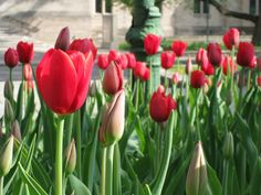 Red and white tulips in the spring.