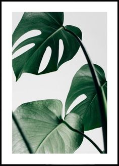 Beautiful botanical poster of a Monstera leaf. The poster is perfect to combine with other nature posters in a gallery wall. Foto Poster, Jazz Poster, Monstera Deliciosa, Scandinavian Style, Paper Wall Decor, The Cool Republic, Poster Store, Poster Online, Scandinavian Design