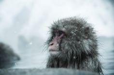Snow Monkey, Nagano, Japan