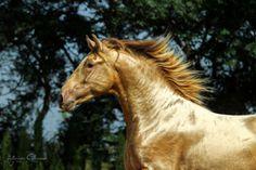 Sementales / Stallions ‹ Yeguadas Paco Marti ::: Stables Paco Marti