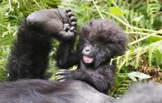 "Baby gorilla - ""Look! I found a foot!"""