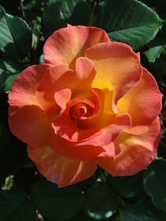 Mardi Gras Rose by cynthsmthrmn, via Flickr