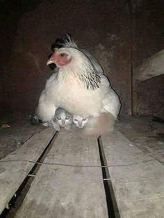 Hen taking care of kittens during a storm