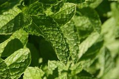 Growing Mint – Ideal for Medicinal and Culinary Purposes. Known for menthol content and its aroma, mint has been part of medicinal and culinary history in Middle East, Greece, Europe, America and other places worldwide since ancient times. Growing Mint, Growing Herbs, Iranian, Herb Garden, Middle East, Greece, Plant Leaves, Medicine, Gardens